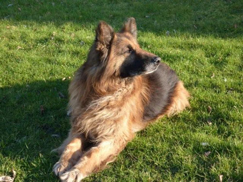 shadow long haired gsd