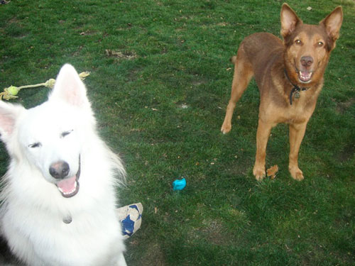 starbuck and loki the gsd husky cross