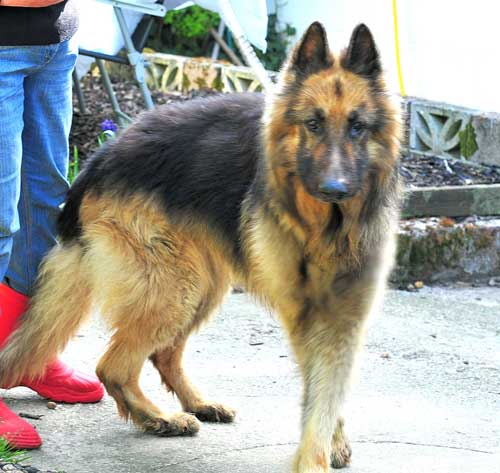 Stig the abandoned GSD in the dog pound