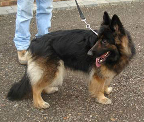 tara long coated gsd