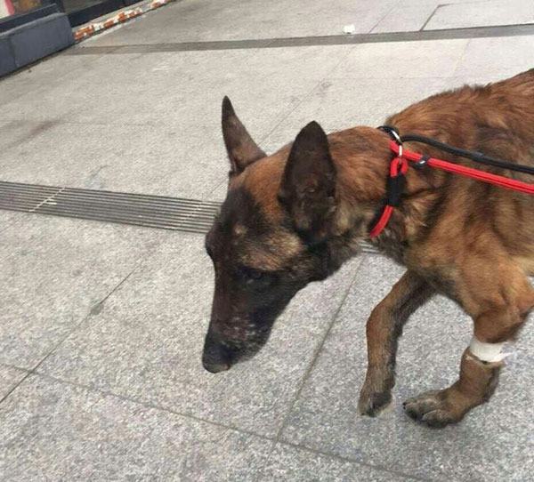 first steps to a new life for gsd cruelty case Shanghai Ted