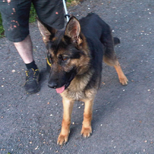 tigger gsd needs new home