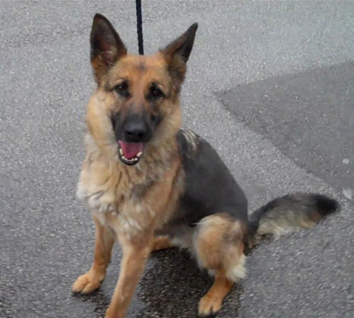 tilly gsd in the pound