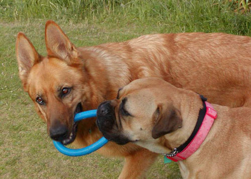 tilly the gsd and her mastiff friend
