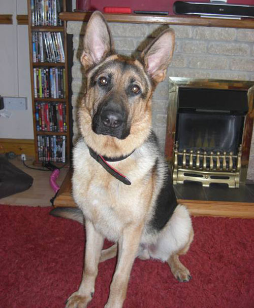 toddy big gentle giant of a gsd