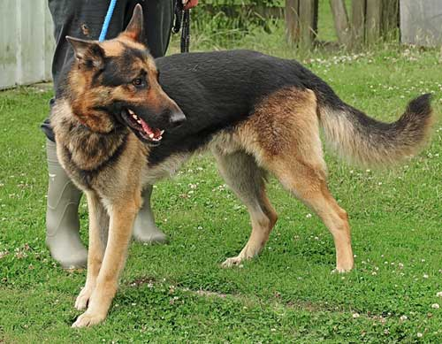 tyson lovely young GSD
