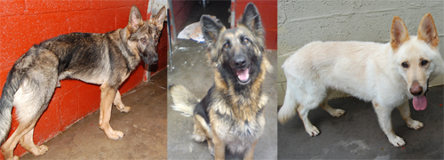 3 at risk gsd's