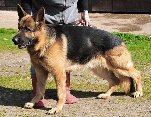 More German Shepherd Puppies and Dogs that have found new homes