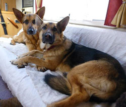 two german shepherds lying on their bed