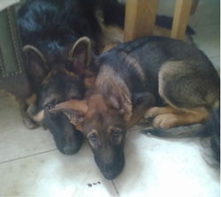 stevie wonder the blind gsd puppy with eddison the epileptic gsd puppy