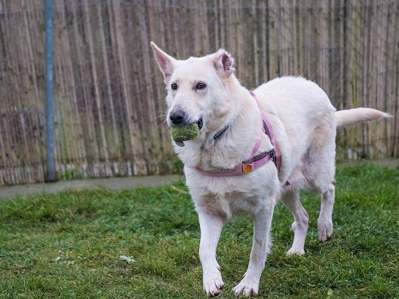 Athena white gsd needs a new home