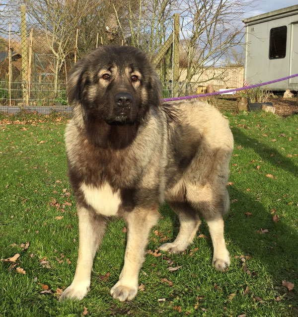 Dorothy young Caucasian Shepherd looking for a home