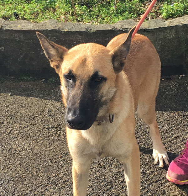 alfonzo young gsd looking for a new home