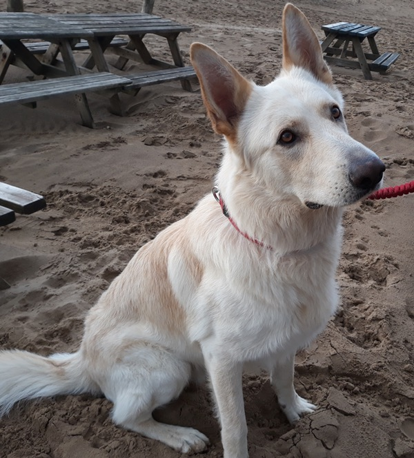 Ami white gsd looking for a new home