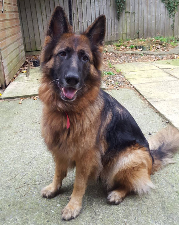 Astra semi long coated gsd looking for a new home