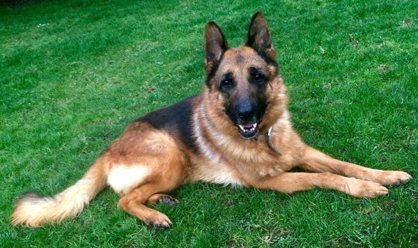How handsome is Bear the GSD?