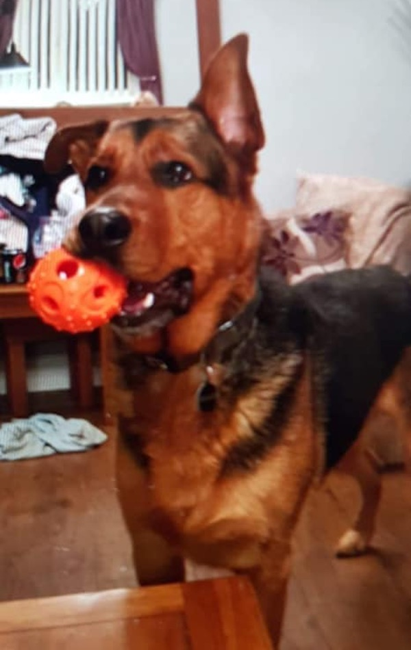 Bear the gsd needs a new home urgently