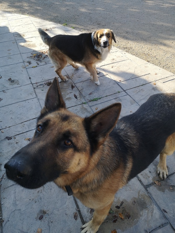 Bear GSD cross and Edward GSD need a home together