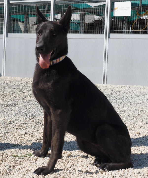 Beautiful black GSD looking for a new home
