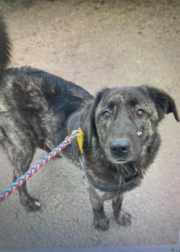 Brooke Carpathian type rescue dog