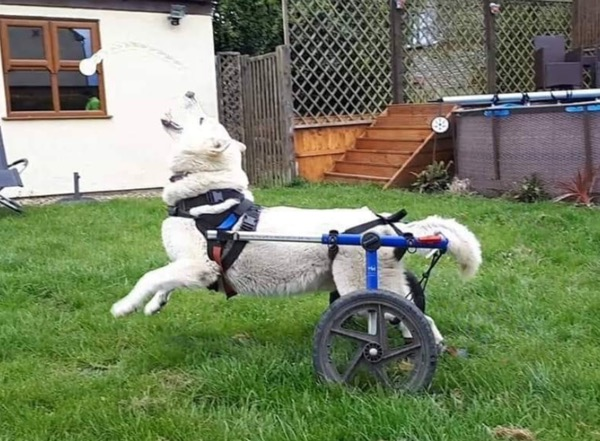 white gsd with DM on his wheels