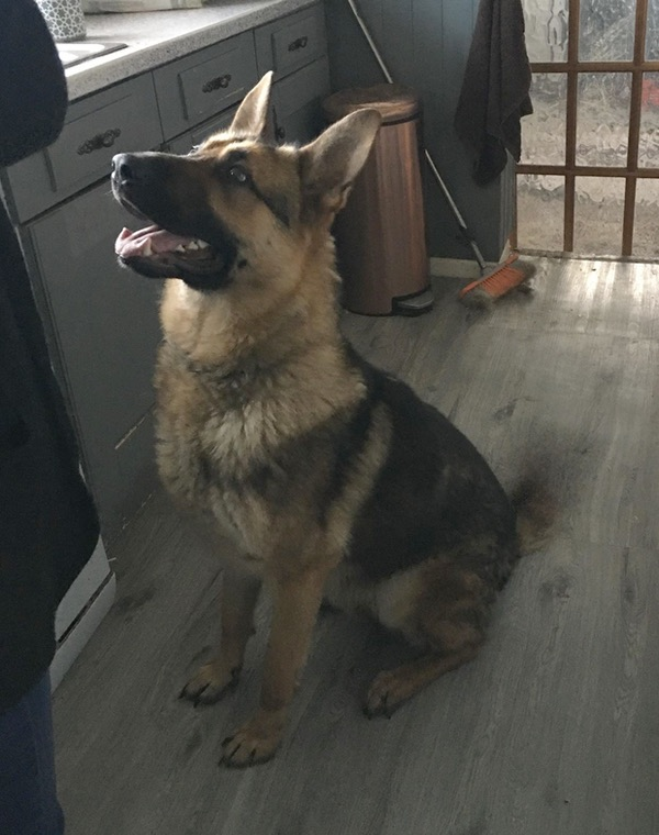 Young GSD Buddy needs a new home