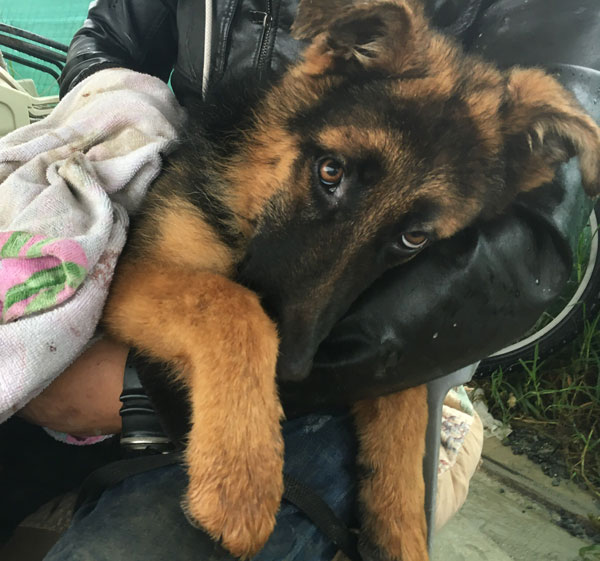 Young GSD terrified after being left in the pound