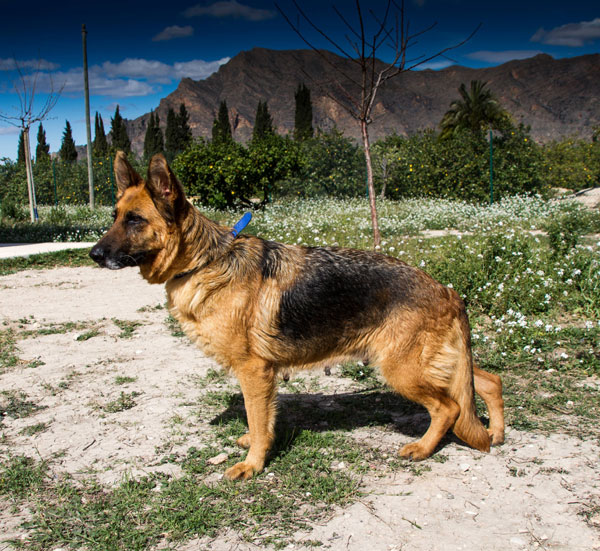 China older GSD looking for a home