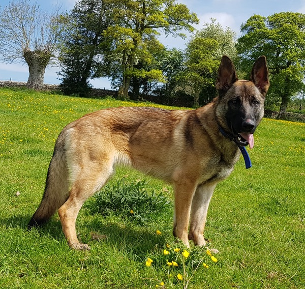 Dakota Malinois looking for a new home