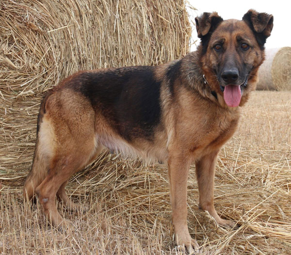 Delilah gsd needing to find a new home