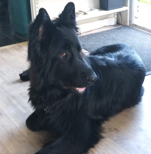 Dexta large black german shepherd looking for a new home