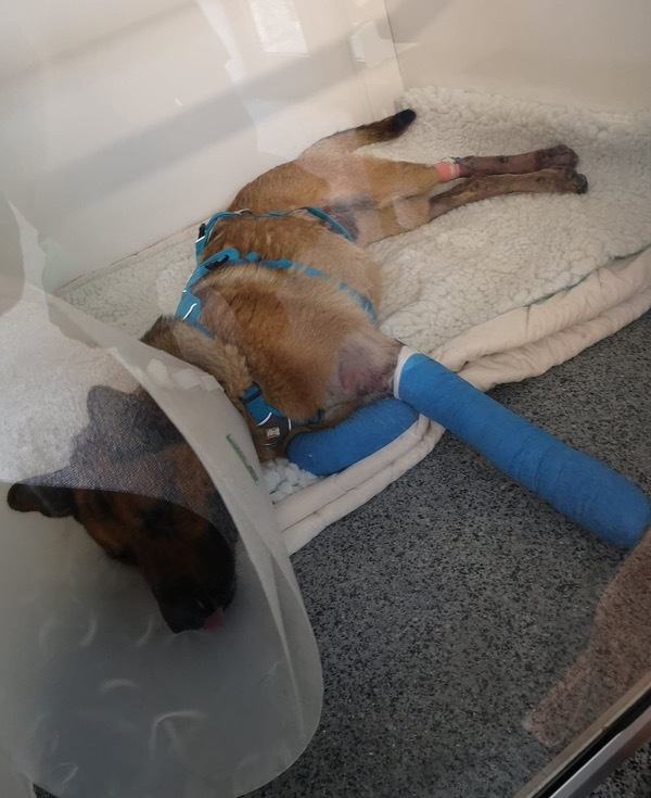 A German Shepherd that jumped from a car on the motorway sustaining terrible injuries
