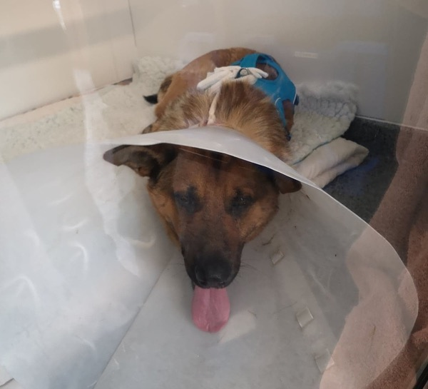 gsd with terrible injuries after a car accident