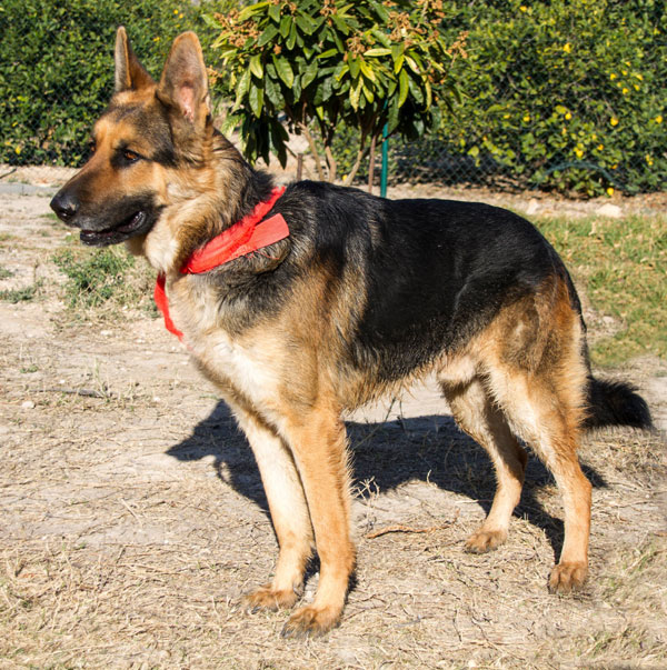 Floky Spanish stray GSD looking for a home