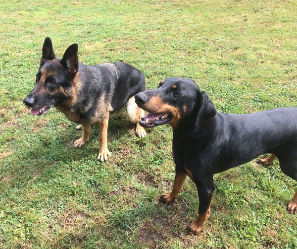 Hunter the GSD with his friend the Doberman