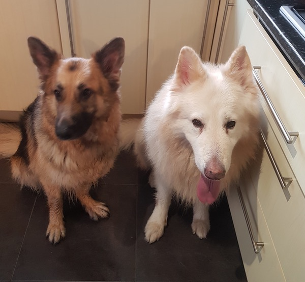 Ice and Phyre 2 GSD's that need a home together
