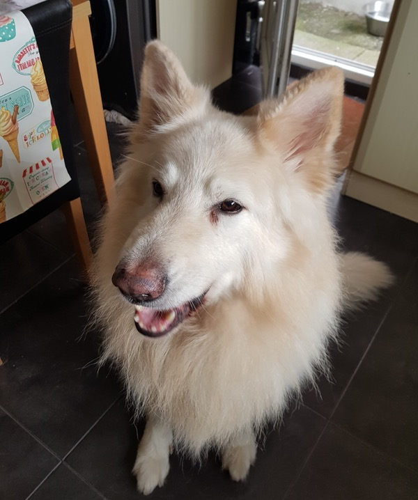 large white gsd looking for a new home