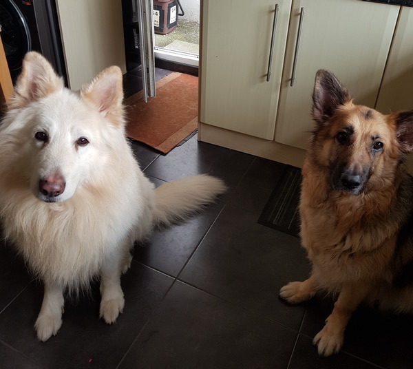 Ice and Phyre 2 beautiful GSD's looking for a home