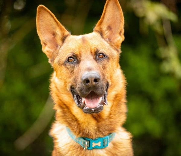 jethro gsd looking for a new home