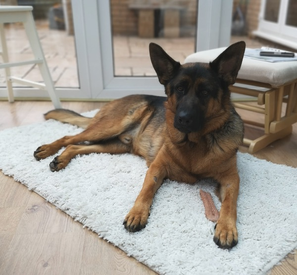 Young GSD Jude looking for a new home