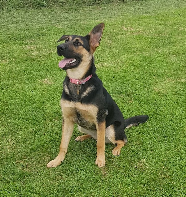 Kofi GSD pup looking for a new home
