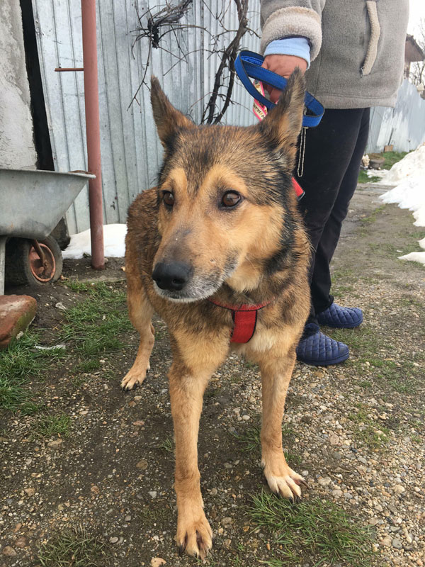 Luca nervous GSD looking for a home