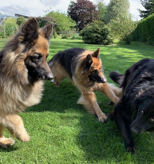 three GSD's all playing together