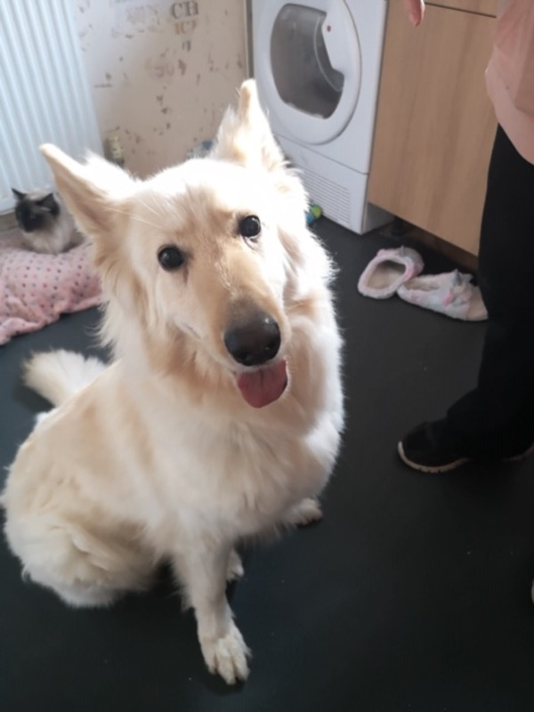 Mya white semi coated GSD needs a new home