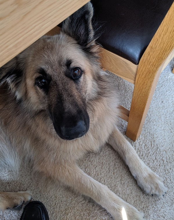 poppy sweet gsd looking for a new home