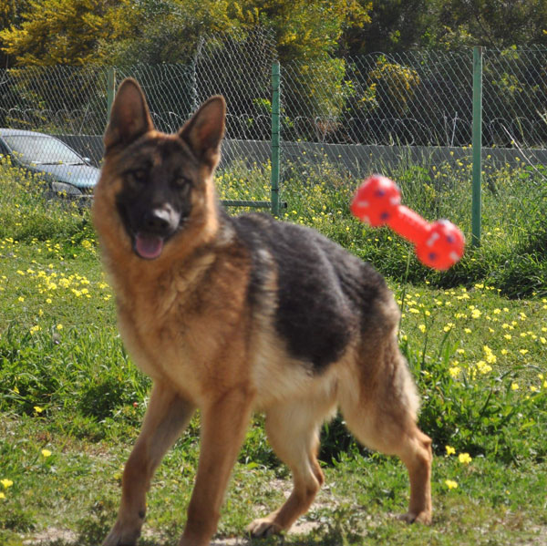 Portia GSD in Cyprus looking for a home