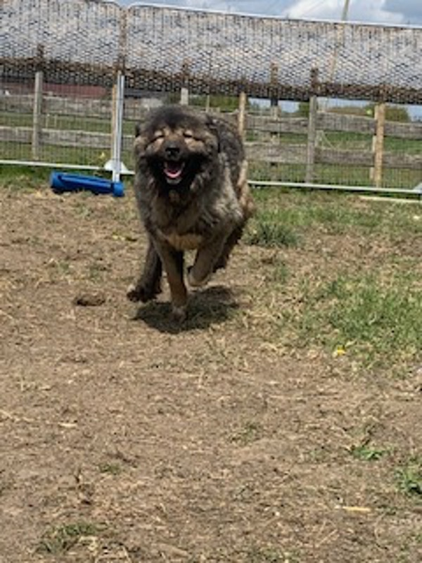 Princess Caucasian Shepherd looking for a new home