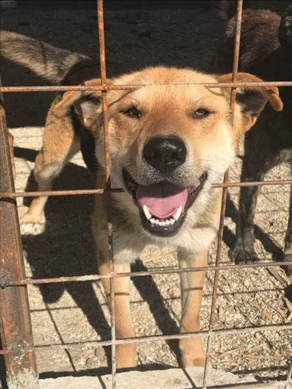 Cheeky chappie Sandy gsd cross looking for a new home