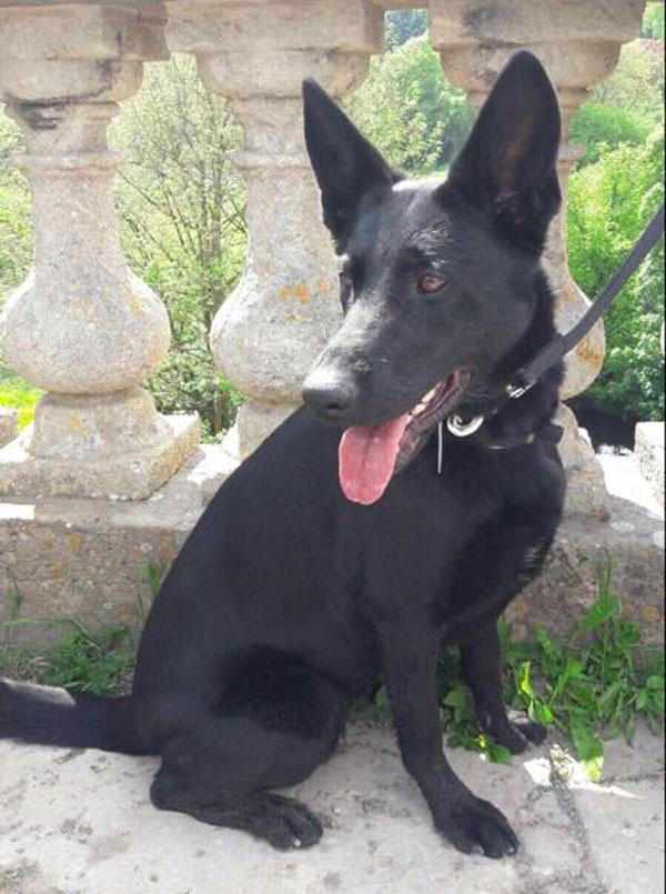 Scarla black short coated gsd needs a new home