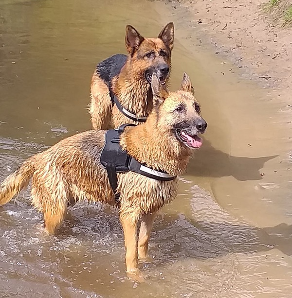 two gsd's enjoying a dip